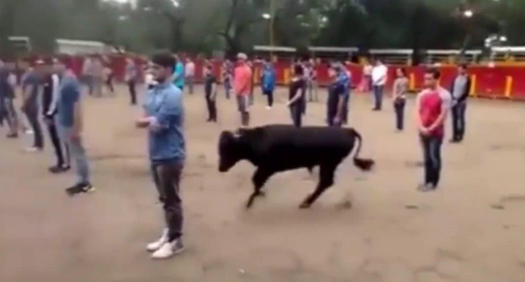 touros não atacam sem motivo