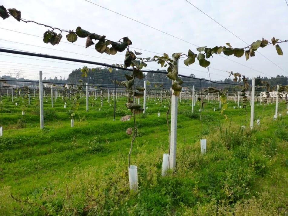 Vinhas e kiwis podem equivaler a milhões