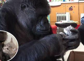 Gorila adopta ninhada de gatinhos bebés