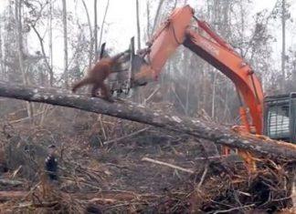 Orangotango luta com retroescavadora