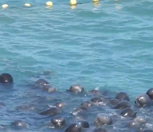 Golfinhos abraçam-se