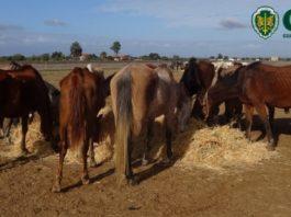 Cavalos apreendidos pela GNR