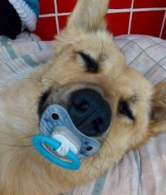Cachorro a dormir com chucha