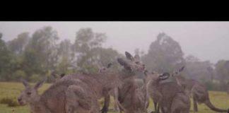 Animais na Austrália celebram