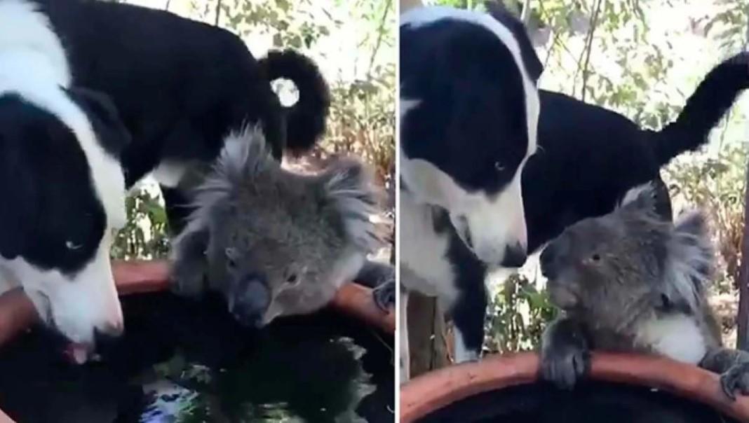 Cão divide água com coala
