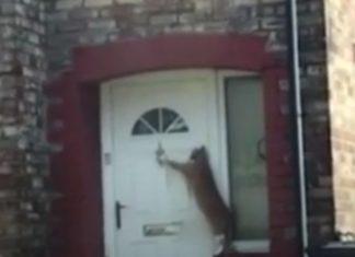 Gato bate à porta para o deixarem entrar em casa.