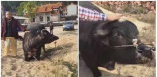 Vaca grávida e aterrorizada ajoelha-se num matadouro