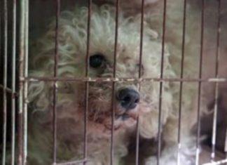Poodles presos em gaiolas