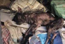 Cão doente esconde-se em casa abandonada