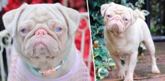 """Pug cor-de-rosa chamado """"Milkshake"""""""