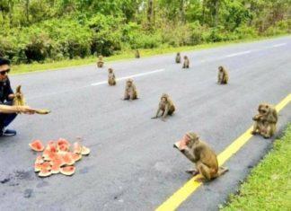 Macacos surpreendem