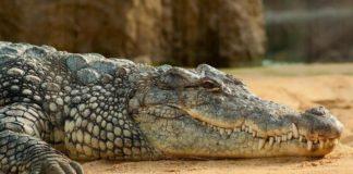 Caça ao crocodilo
