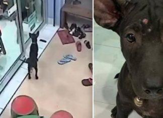 Cãozinho perdido lembra-se do caminho para o veterinário