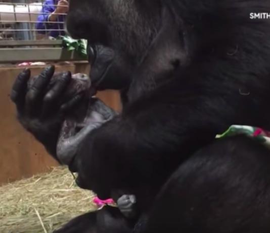 Mãe gorila dá à luz ao vivo