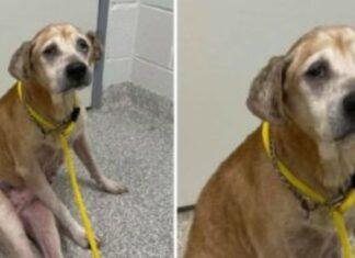 Cão idoso e triste é levado para um abrigo depois de ser encontrado sozinho dentro de um carro