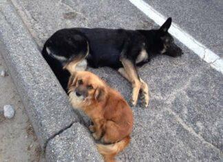Cão permanece ao lado da amiga grávida