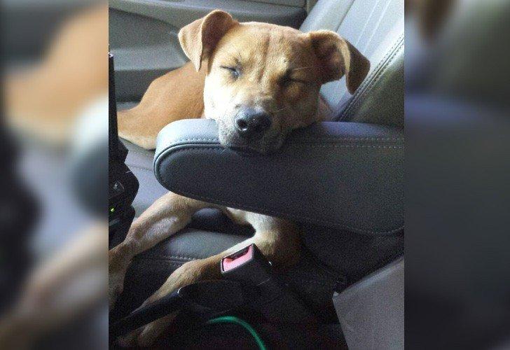 Cachorro seguia carro polícia