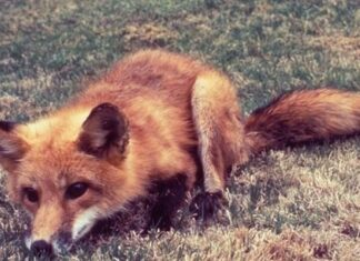 Homem salva raposa