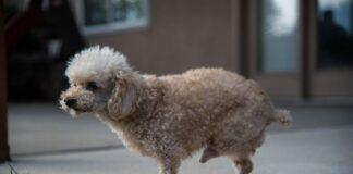 Cão com duas pernas finalmente resgatado